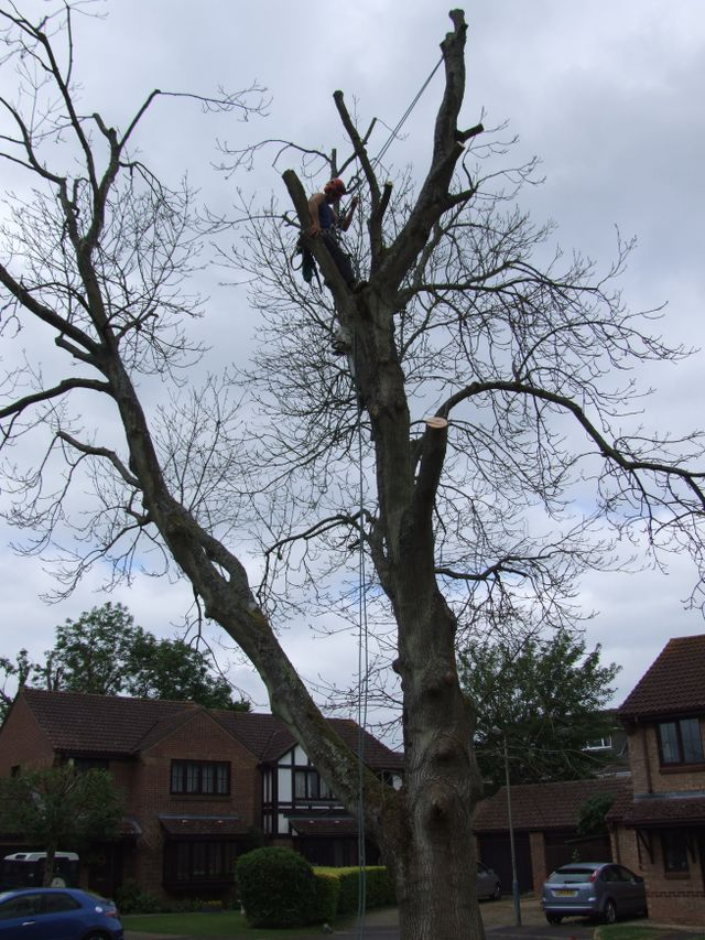 Tree surgery crown reduction throughout North Wales. Tree surgery technique to reduce the size of the tree whislt maintaining and improving the trees' health.