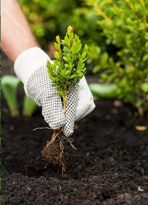 Planting a small shrub