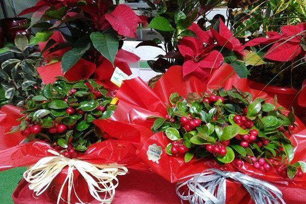 piante verdi con bozzoli rossi confezionate con carta di color rosso e un fiocco bianco
