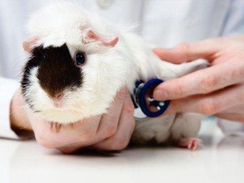 veterinario mentre visita un criceto