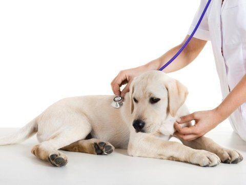 veterinario mentre visita un cucciolo di labrador