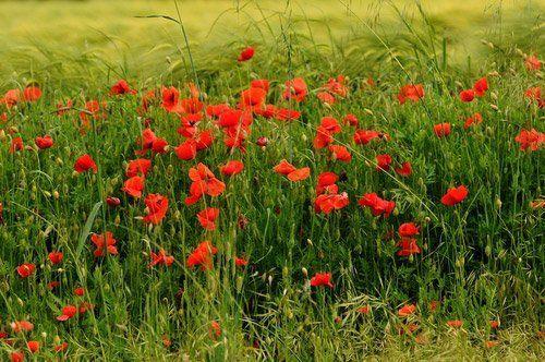 campo di papaveri rossi