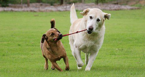 two dogs playing with a chew toy