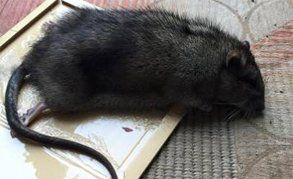 A black rat