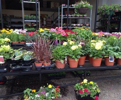 A display of flowering pot plants