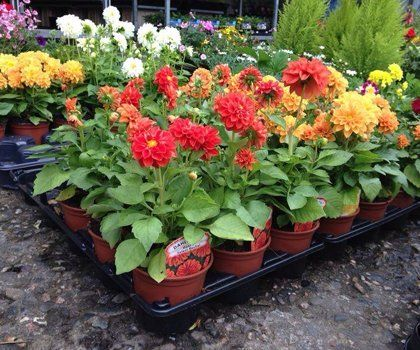 Trays of red, yellow and white plants