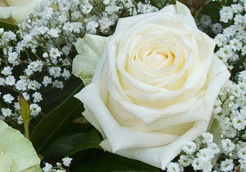 Primo piano di una rosa bianca