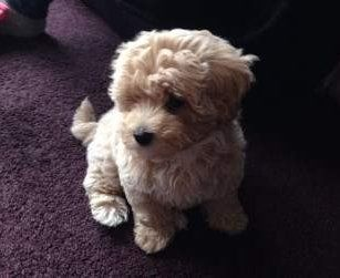cute Maltipoo dog