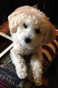 10-month-old-maltipoo