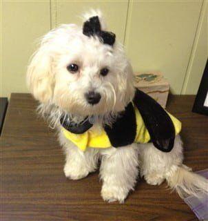 maltipoo in bumblebee halloween costume