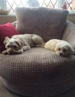 Two Maltipoo dogs on sofa