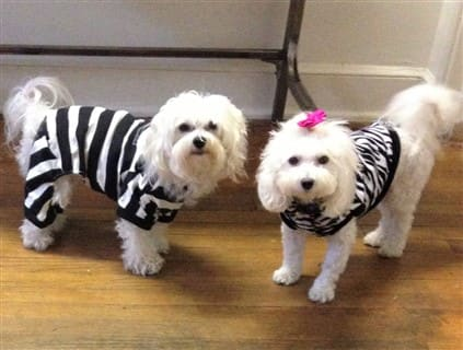 maltipoos in halloween costumes zebra and convict