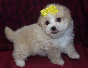 3 month old Maltipoo puppy