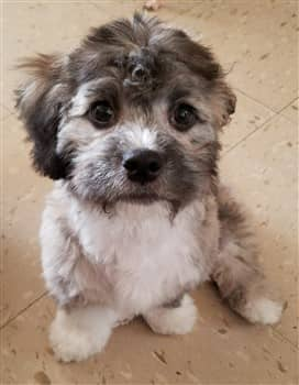 5-month-old-maltipoo-puppy