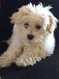 Maltipoo with curly coat