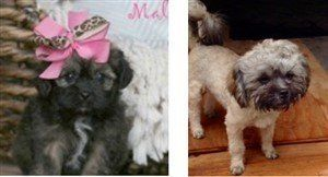 Maltipoo change black to white