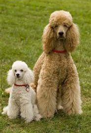 Poodle curly coat