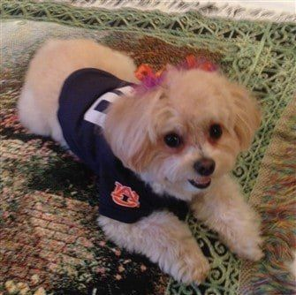 Auburn-fan-dog-costume