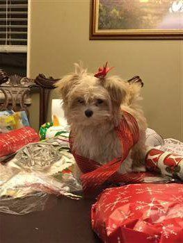 Maltipoo wrapped up