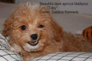 apricot Maltipoo puppy, white tipping