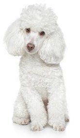 Poodle, toy, white