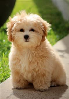 beautiful-maltipoo