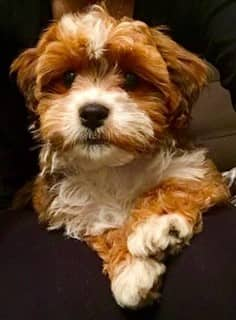beautiful Maltipoo, brown and white
