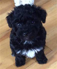 black Maltipoo with Poodle colors