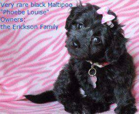 black Maltipoo puppy