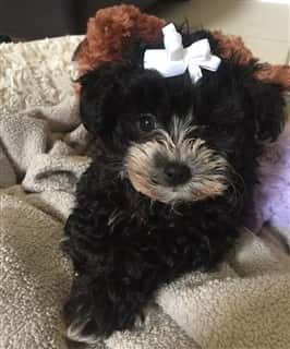 black Maltipoo dog, female