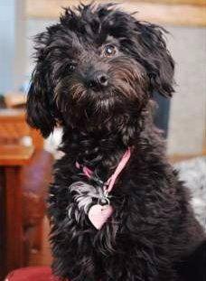 Maltipoo looks like a Poodle dog