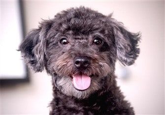 Where to Get a Maltipoo Puppy or Dog