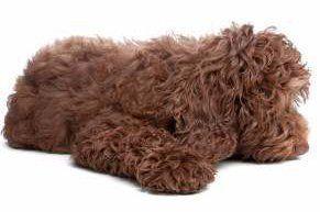 brown colored Maltipoo dog