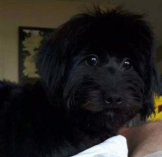 solid black Maltipoo 6 months old