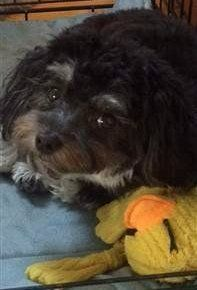 black Maltipoo with stuffed toy