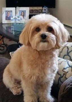 Maltipoo dog, tan and cream