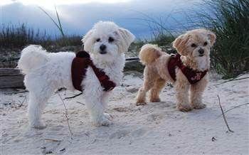 maltipoo littermate sisters at beach