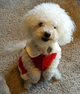 Shaved Hair Cut Maltipoo
