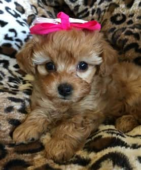 female-maltipoo-puppy