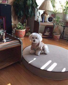 Maltipoo on large mat