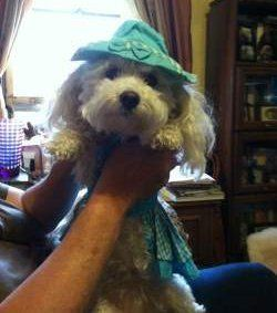 funny Maltipoo in dress and hat