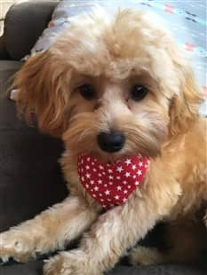 gold Maltipoo with small red bandana