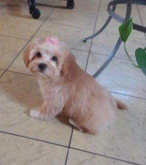 light apricot Maltipoo