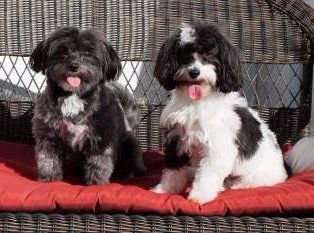 male and female Maltipoo dogs
