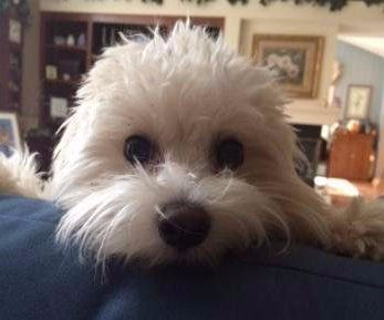 Maltipoo 7 months old male
