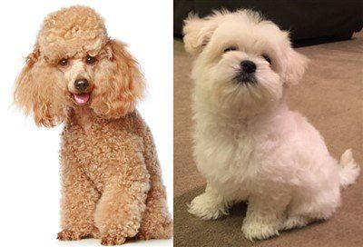 Maltipoo vs Poodle head shape