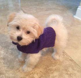 Maltipoo with purple sweater