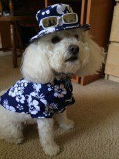 Maltipoo with shirt and hat