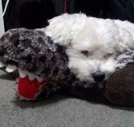 Maltipoo resting on stuffed animal