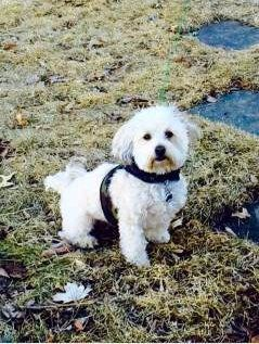 Maltipoo outside on grass